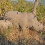 White Rhino and calf - Idube 2014