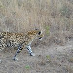 Up close and personal with a leopard...  Idube 2014