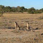 Cheetah - Idube 2014