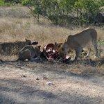 Lions on a kill - Idube 2014