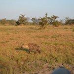 Spotted Hyena  -  Idube 2014