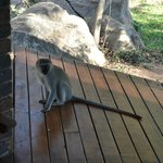 Monkey on the porch of the cabin - Idube 2014