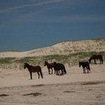 horses on the dunes