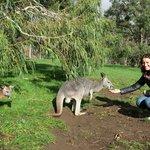 Feeding the kangaroos at Cleland wildlife park
