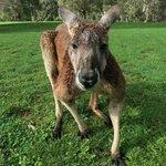 Kangaroos at Cleland
