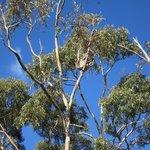 Koala spotted!