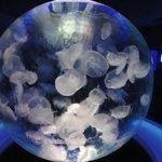The Moon Jellyfish