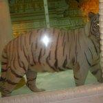 white tiger inside
