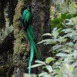 quetzal near Dantica