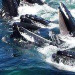 Humpback whale feeding frenzy