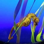 Seahorse at Ripley's Aquarium