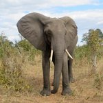 this beautiful elephant walked up to us, Sunday was the tracker