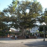 Huge tree in the main square
