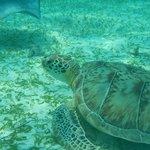 Green sea turtle we saw on the hol chan trip