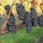Pinot Noir...Ready to harvest