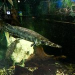 Spotted Alligator Gar
