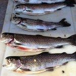 Limit of Rainbow trout out of Parchers -  Bishop Creek -