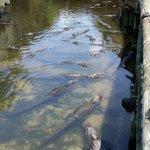 Lots of gators