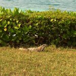 Iguanas migle among the guests all the time.