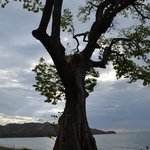Guanacaste Beach Tree