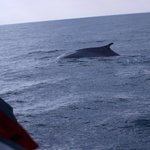 A fin whale going to dive near the ship