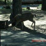 same deer