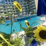 Sunflowers round the Pool