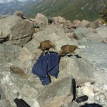 Kea the mountain parrots