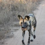 We saw six wild dogs