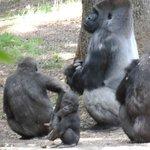 Gorillas with babies!!