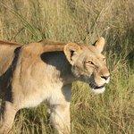 Beautiful female lions