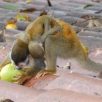 Squirrel Monkey with Baby Munching on a Mango - Guest Photo