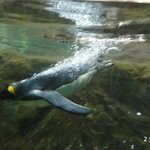 Penguin going for a dive