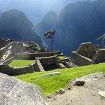 Uma das árvores de Machu Picchu