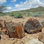 Petrified tree trunks