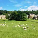 Sheep grazing at Ampleforth