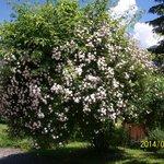 Rosenbaum im Garten