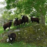 The Zwartbles sheep