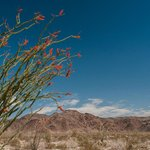 Ocotillo Patch in the Pinto Basin