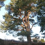 Our Scots Pine 200yr old