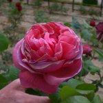 une rose des prés- fichaux