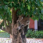 A Coati raiding a birds nest