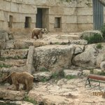 דוב סורי