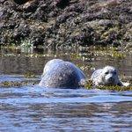 seals and marine life near Brentwood Bay, BC