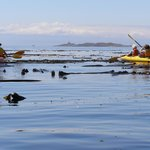 kelp bed near Discovery Island, BC