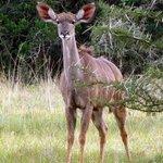 Nosy antelope