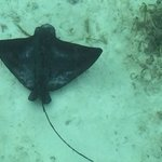 Manta ray in the lagoon