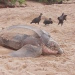 Leatherback with lurking vultures
