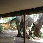 Elefante davanti alla tenda