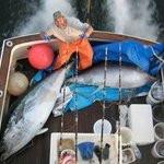 Two Giant Bluefin Tuna Heading for Japan